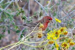 Domowy Finch na pustynnym kwiacie w Arizona ` s Sonoran pustyni obrazy stock