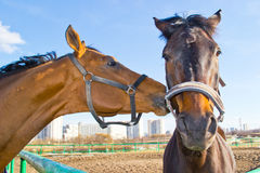 Domowy koń Obraz Stock