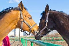 Domowy koń Zdjęcie Royalty Free