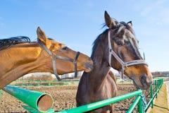 Domowy koń Obraz Royalty Free