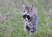 Domowy kot łapał śródpolnej myszy zdjęcia stock