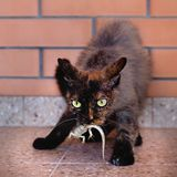 Domowy kot łapał jaszczurki, myśliwy z zdobyczem zdjęcie stock