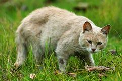 Domowy kot Fotografia Royalty Free