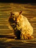 Domowy kot iluminujący Zdjęcia Stock