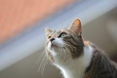 Domowy kot intensywnie wlepiający oczy Fotografia Royalty Free