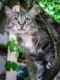 Domowy kot na drzewie Zdjęcia Royalty Free