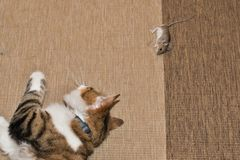 Domowy kot tropi myszy obraz stock