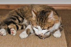 Domowy kot tropi myszy fotografia stock