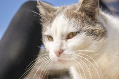 Domowy kot z ładnymi żółtymi oczami zdjęcia stock