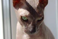 Domowy kota sfinks obrazy royalty free