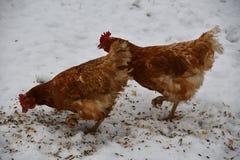 Domowy kurczak je wpólnie na trawy gospodarstwie rolnym w zimie Obrazy Royalty Free