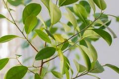 Domowy kwiat z zielonymi liśćmi Lekki tło Obrazy Royalty Free