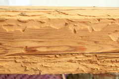 Domowy longhorn ścigi atak na świerkowym drewnie Obrazy Stock