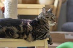 Domowy marmurowy kota obsiadanie na drewnianej stolec, śliczna kiciuni twarz, zadziwiający wapno ono przygląda się obraz stock