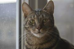 Domowy marmurowy kota portret, kontakt wzrokowy, śliczna kiciuni twarz, ciekawa obraz stock