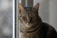 Domowy marmurowy kota portret, kontakt wzrokowy, śliczna kiciuni twarz, ciekawa fotografia royalty free