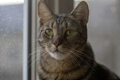 Domowy marmurowy kota portret, kontakt wzrokowy, śliczna kiciuni twarz, ciekawa zdjęcie stock