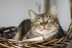 Domowy marmurowy kota portret, kontakt wzrokowy, śliczna kiciuni twarz, zadziwiający wapno ono przygląda się fotografia royalty free