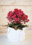 Domowy medyczny kwiat Kalanchoe Zdjęcia Stock