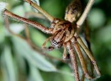 Domowy pająk obrazy stock