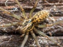 Domowy pająk makro- fotografia royalty free