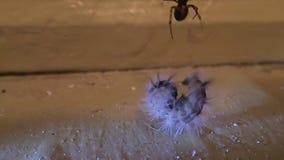 Domowy pająk próbuje przygotowywać kosmatej larwy dla jeść je zbiory