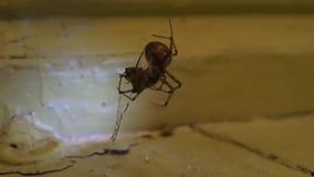 Domowy pająka narządzanie jeść inny domowy pająk zbiory wideo