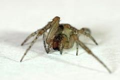 Domowy domowy pająka Tegenaria domestica zdjęcia royalty free