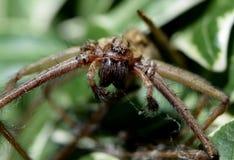 Domowy pająk Obrazy Royalty Free