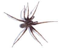 domowy pająk Fotografia Stock