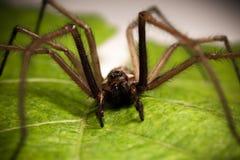 Domowy pająk Zdjęcia Stock