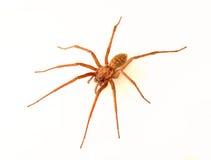 Domowy pająk Zdjęcia Royalty Free