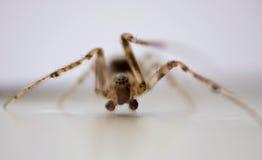 Domowy pająk makro- Zdjęcie Royalty Free