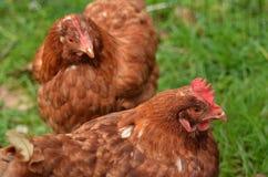 Domowy rolny kurczak obraz stock