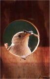 Domowy strzyżyk Obraz Royalty Free