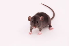 domowy szczur Fotografia Stock