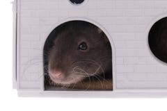 Domowy szczur w domowym zbliżeniu fotografia royalty free