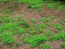 Domowy trawnik przed domem nad bieg crabgrass i świrzepami obrazy stock