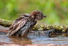 Domowy wróbel patrzeje bardzo rozmoczonym w wodnym stawie zdjęcie stock