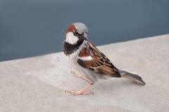domowy wróbel - stojący na cegiełce (samiec) Zdjęcie Stock