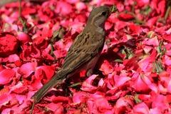 Domowy wróbel z czerwonymi bajdziarstwami czerwone róże Zdjęcia Royalty Free
