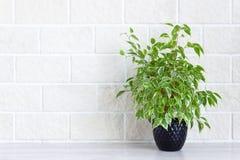 Domowy wystrój - salowa zielona roślina w kwiatu garnku na białym ściany z cegieł tle zdjęcie royalty free