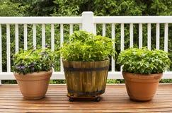 Domowy Zielarski ogród zawiera Wielkie Płaskie liścia basilu rośliny fotografia royalty free