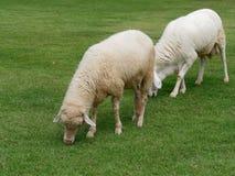 Domowych cakli pasanie lub łasowanie zielona trawa w łące lub paśniku w gospodarstwie rolnym Fotografia Stock