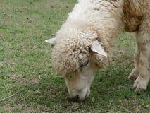 Domowych cakli pasanie lub łasowanie zielona trawa w łące lub paśniku w gospodarstwie rolnym Fotografia Royalty Free