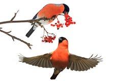 Dompfaff zwei, der rote Beeren isst lizenzfreie stockfotos