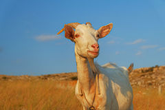 Domstic shegoat looking at camera Royalty Free Stock Photography