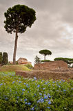 Domus Augustana baths ruins and tree in palatine hill at Rome Stock Image