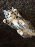 Don't tickle me. Silver tabby kitten Stock Image