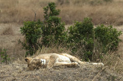 Don't wake the sleeping lioness Royalty Free Stock Photography